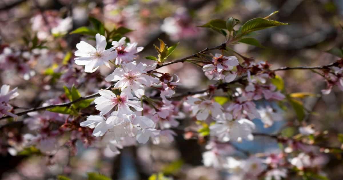 桜を見る会の変遷。参加者が増え続けるのはなぜ?